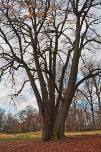 Basswood Tree at Awbury Arboretum | Philadelphia, PA