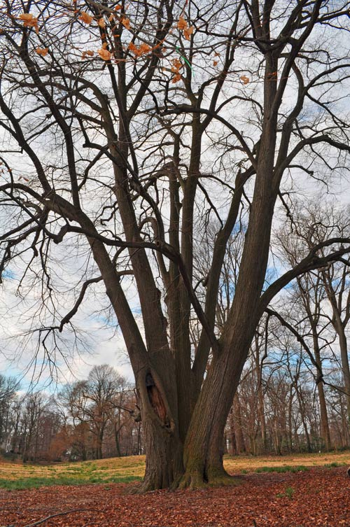 Basswood Tree at Awbury Arboretum | Philadelphia, PA