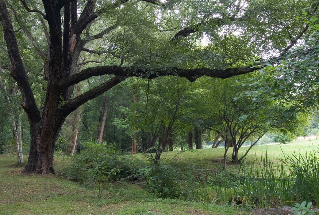 River Birch at Awbury Arboretum