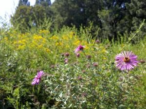 Wildflower Meadow | Awbury Arboretum | Philadelphia, PA