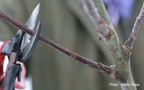 winterpruning