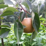 Asian Pear - Permaculture Orchard (2)