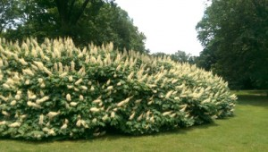 Bottlebrush Buckeye 6