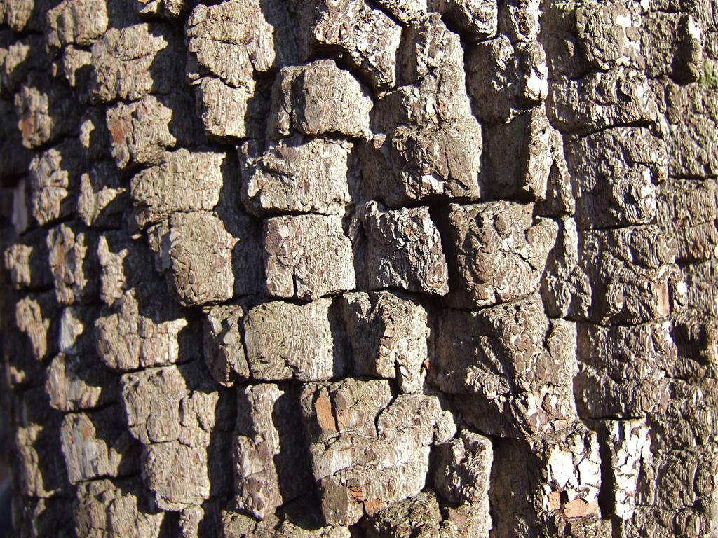 persimmon bark detail