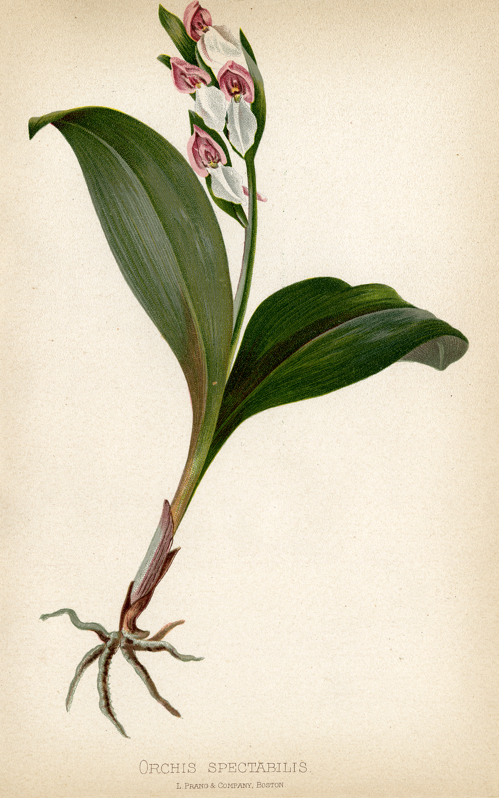 Showy Orchid Illustration