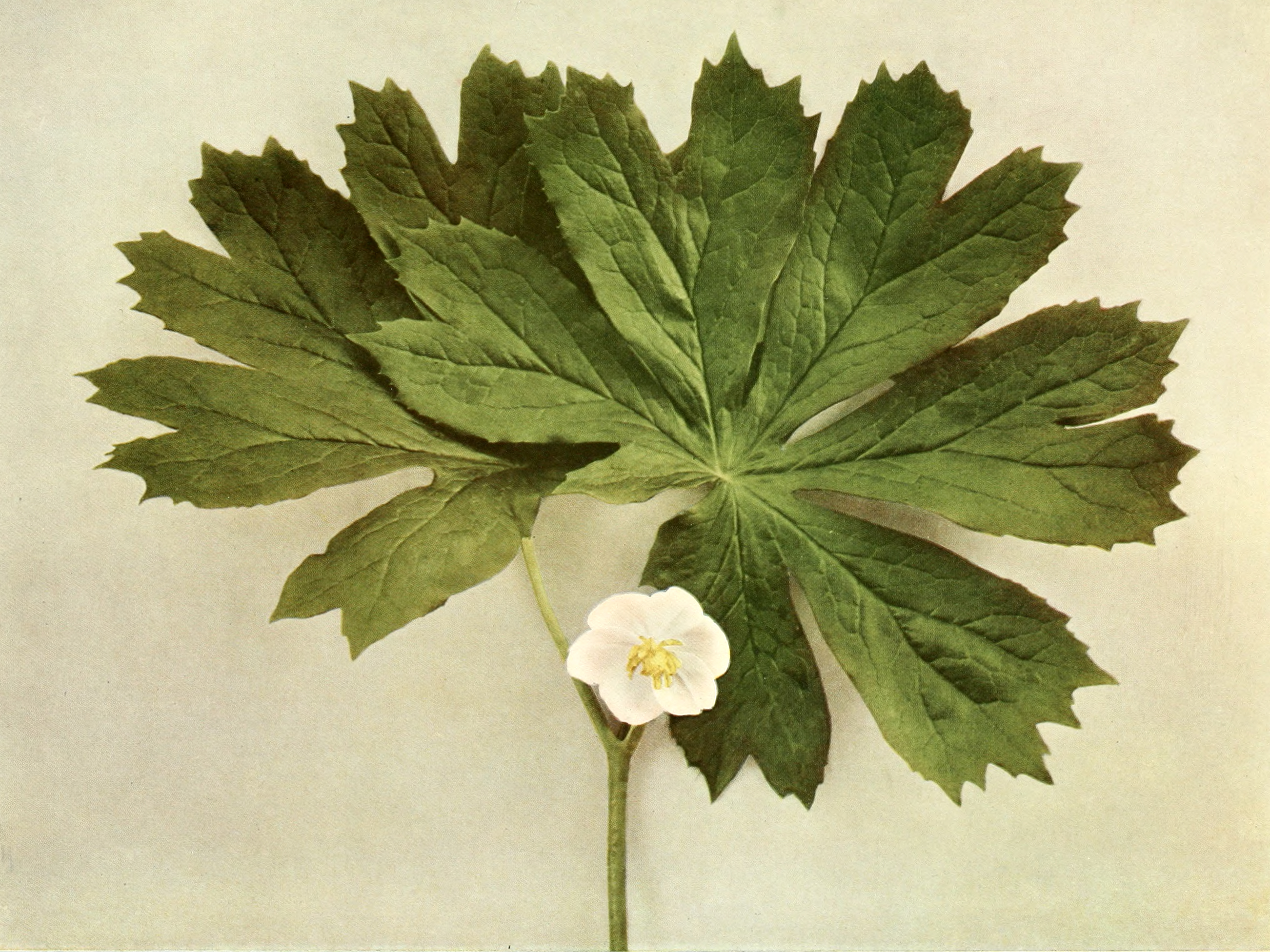 Podophyllum peltatum (mandrake, may apple)