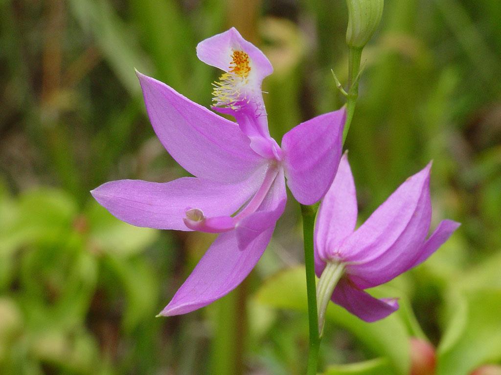 Calopogon tuberosus (tuberous grass pink)