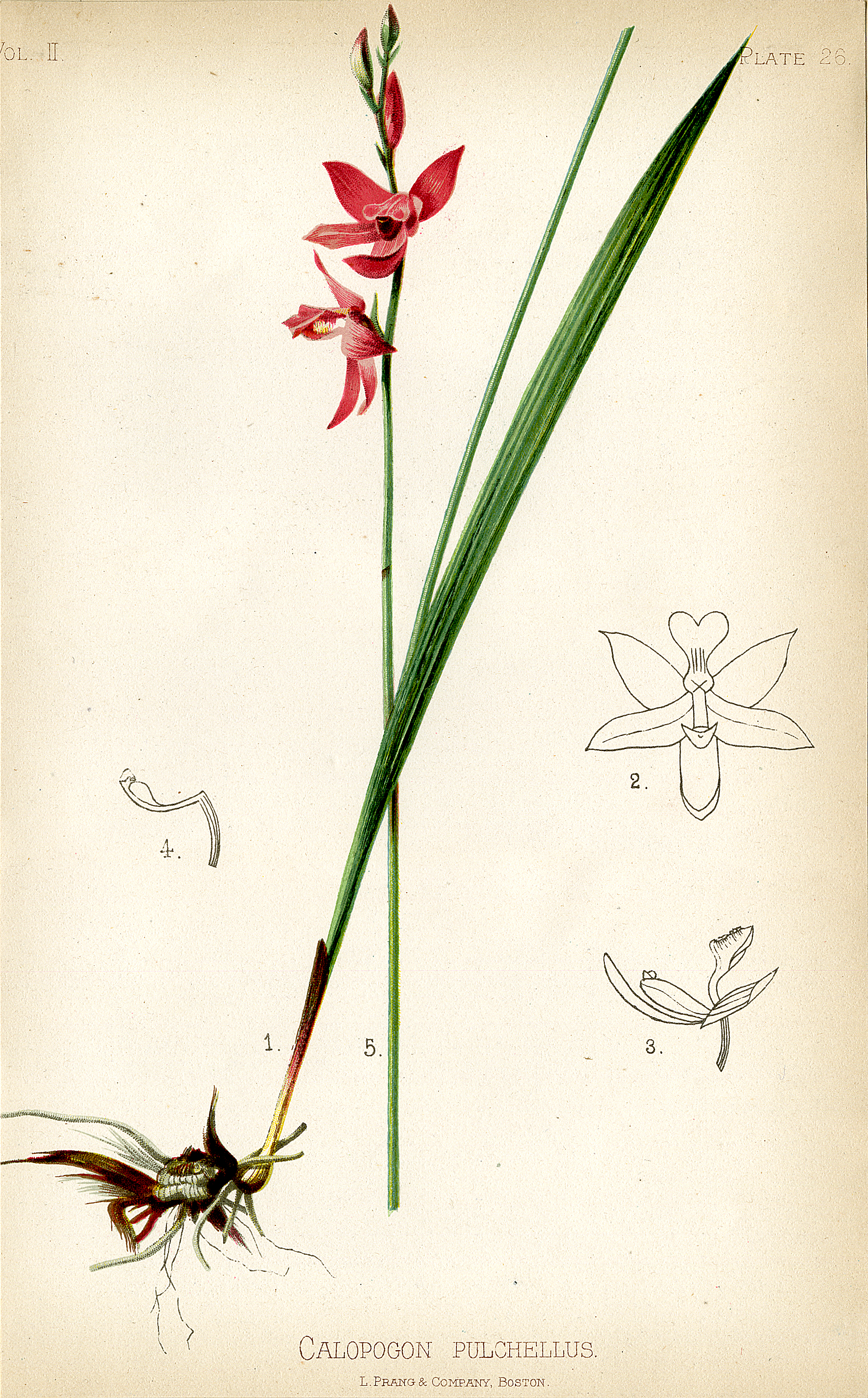 Calopogon tuberosus (formerly C. pulchellus)
