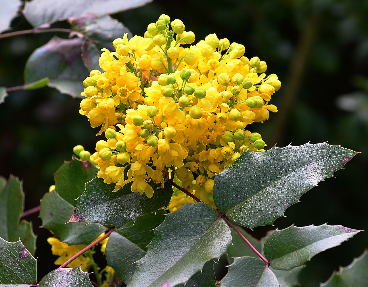 Mahonia aquifolium (Oregon grapeholly), flower