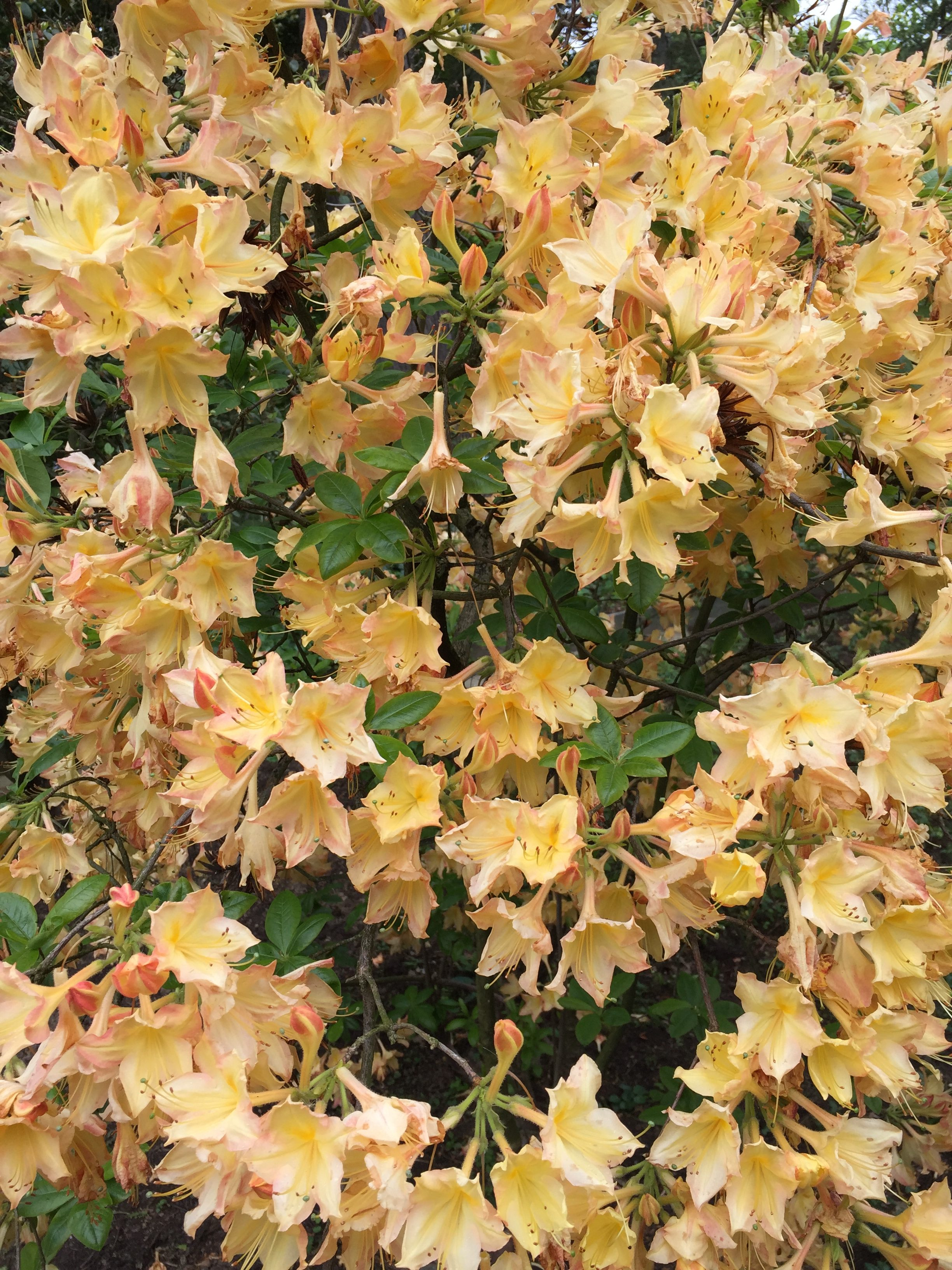 native deciduous rhododendrons