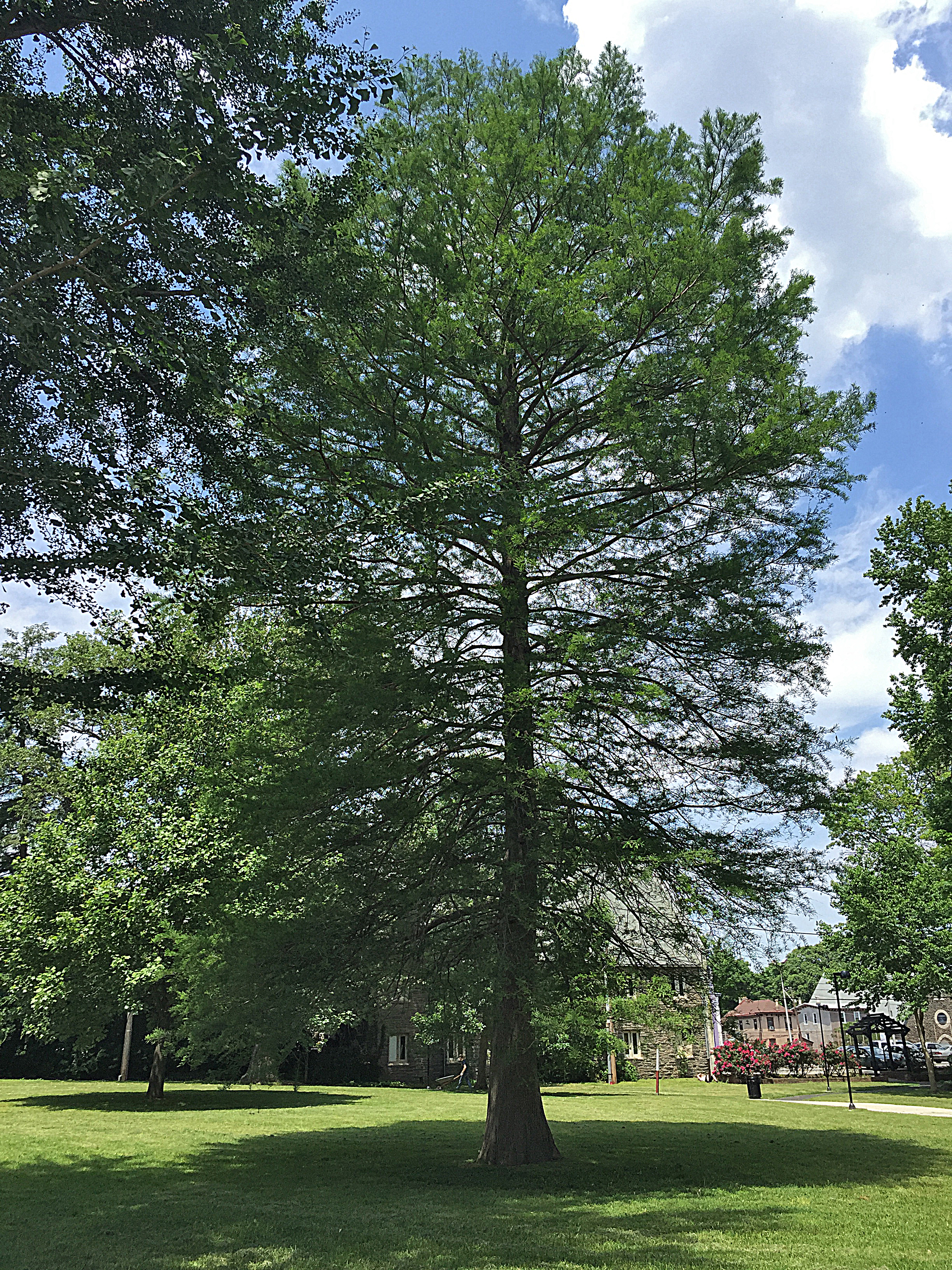 Taxodium distichum (bald cypress) in Vernon Park in 2016