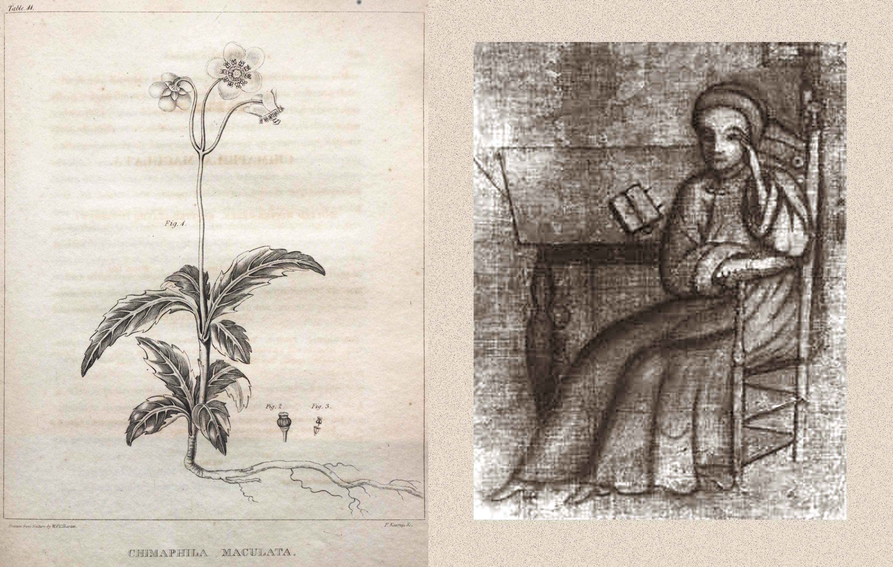 Left: Chimaphila maculata, Right: Painting of Johannes Kelpius