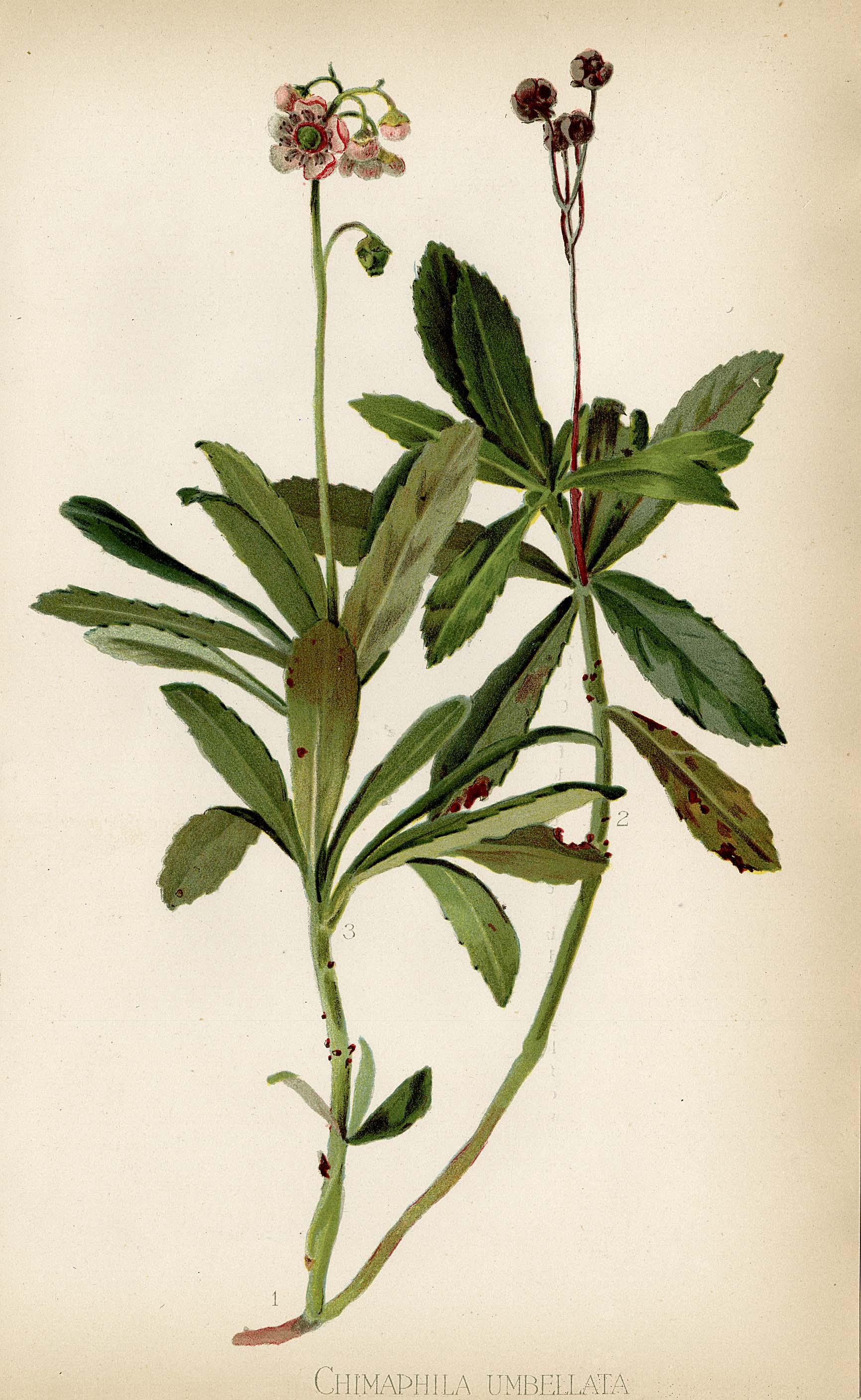 Chimaphila