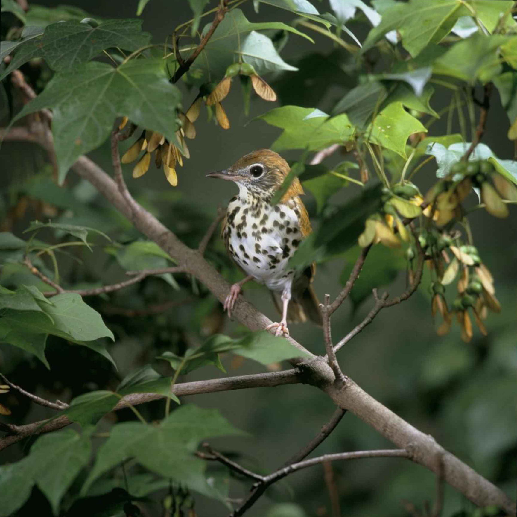 "Hylocichia mustelina (wood thrush)—perhaps this is Jellett's ""wood robin""? photo: USFWS"