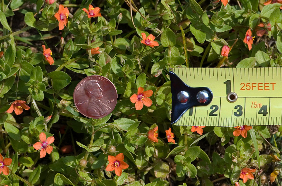 Anagallis arvensis (scarlet pimpernel, red pimpernel) with scale reference
