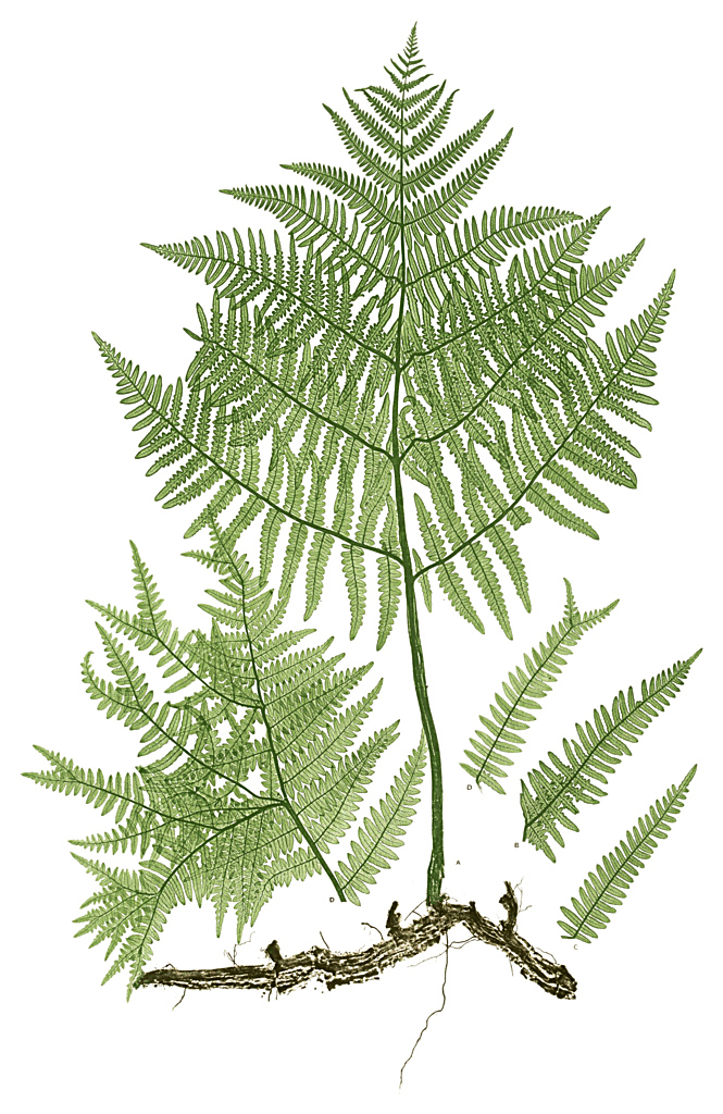 Pteridium aquilinum (brake, common bracken) from The Ferns of Great Britian and Ireland, 1857