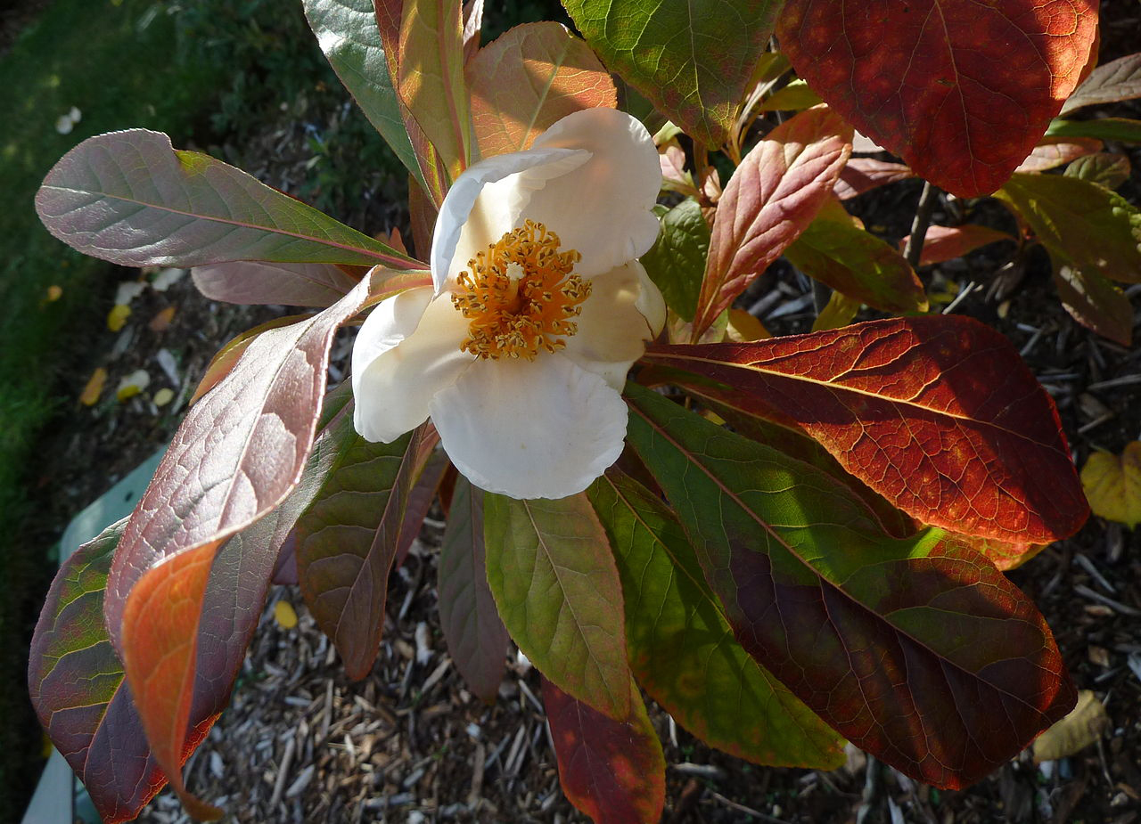 Franklinia alatamata (formerly Gordonia) (Franklin tree)