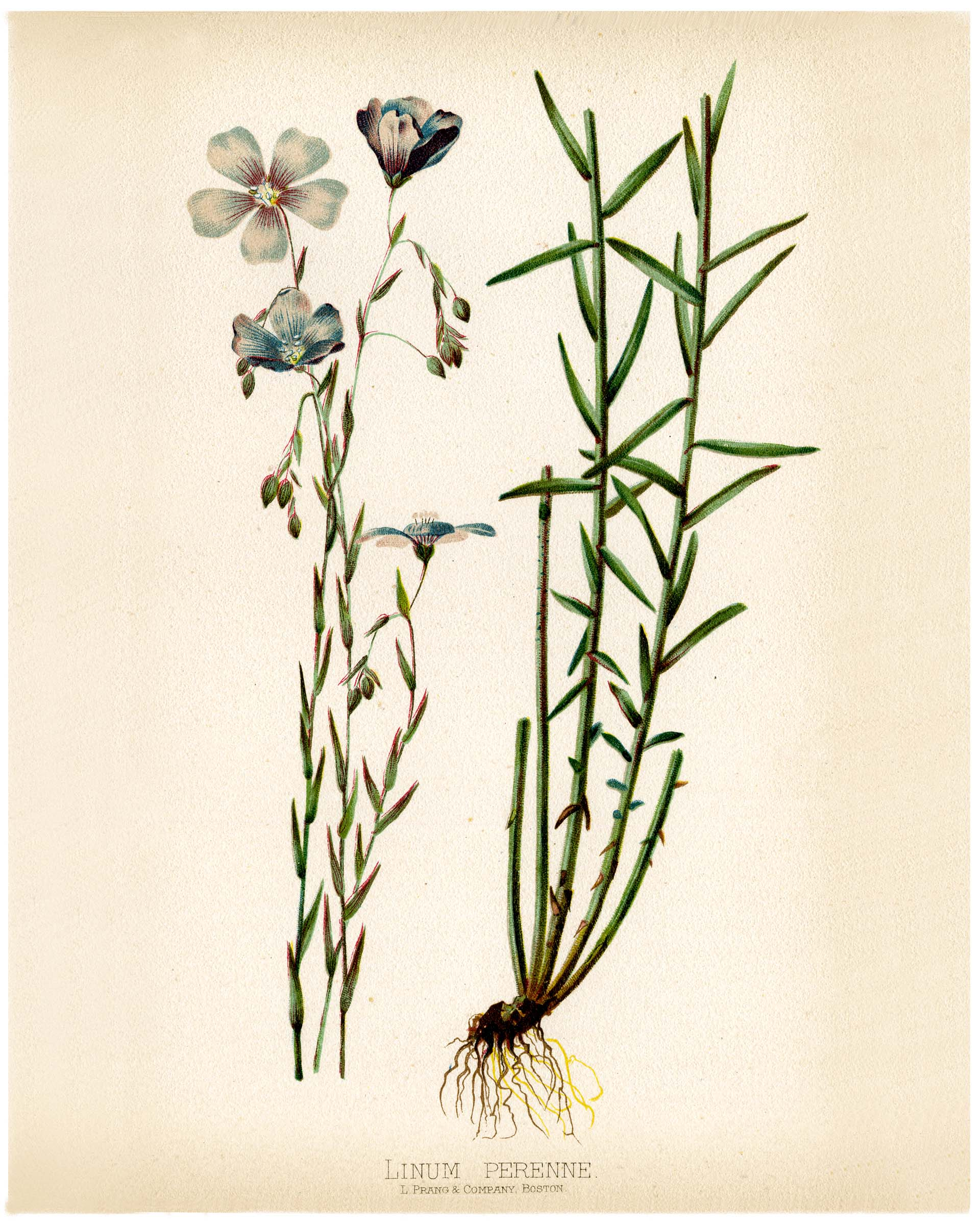 Linium perenne (blue flax, lint) by Alois Lunzer