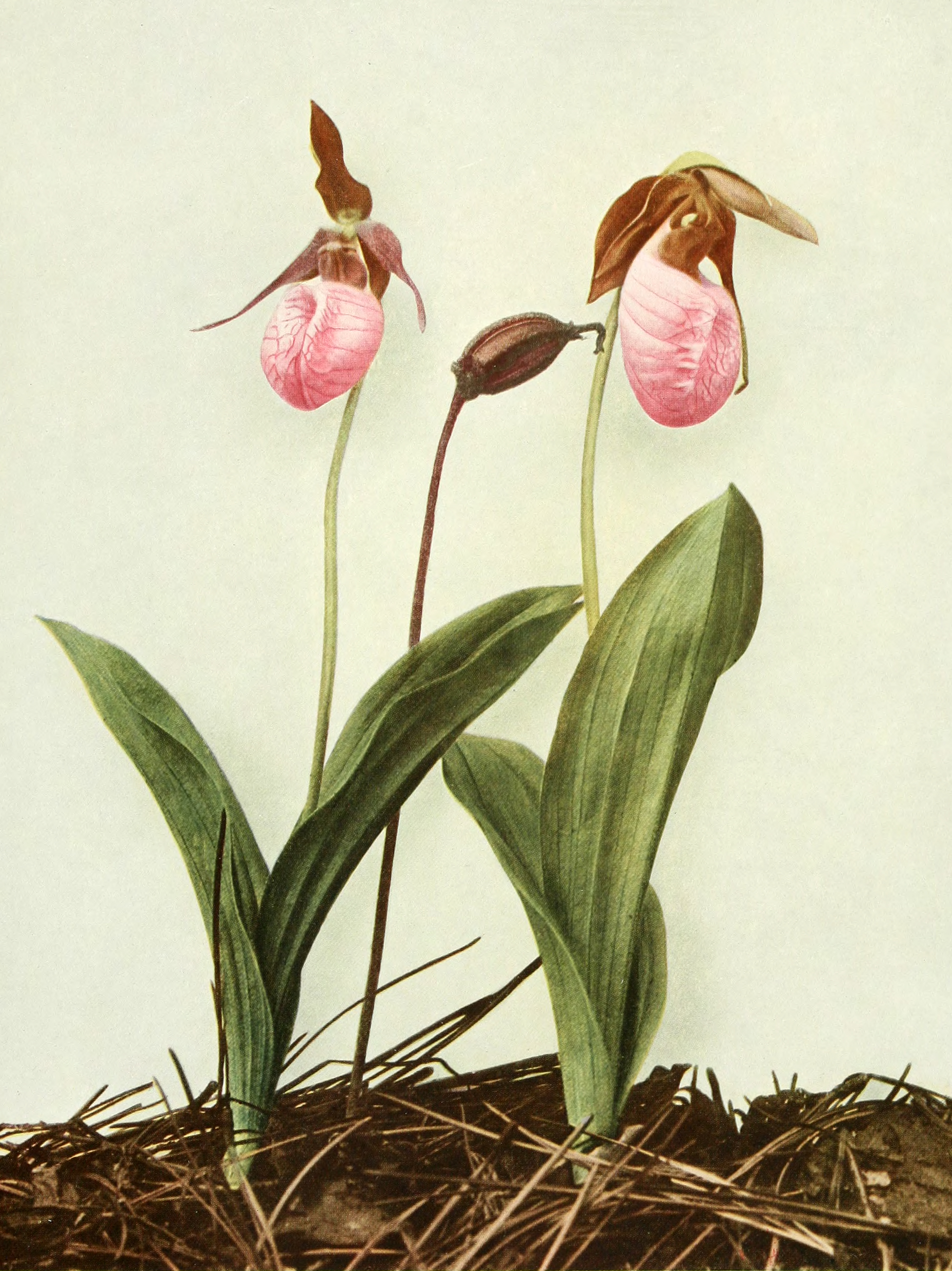 Cypripedium acaule (pink lady's slipper) from Wildflowers of New York, 1918