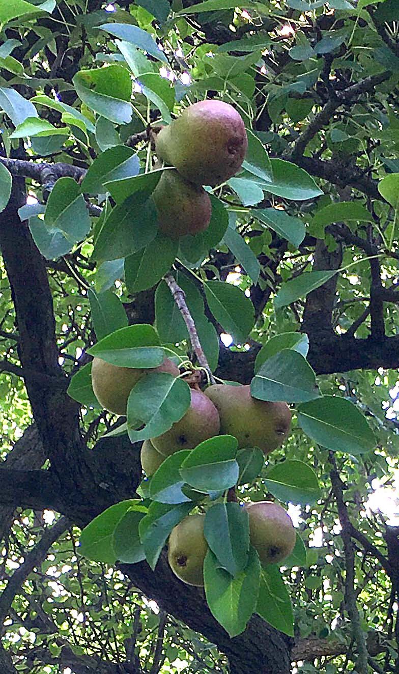 Pyrus communis 'Seckel' (seckel pear): photo: D. Lucey