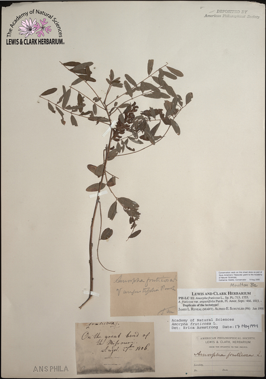 Amorpha fructose (false indigo) from the Lewis and Clark Herbarium at the Academy of Natural Sciences