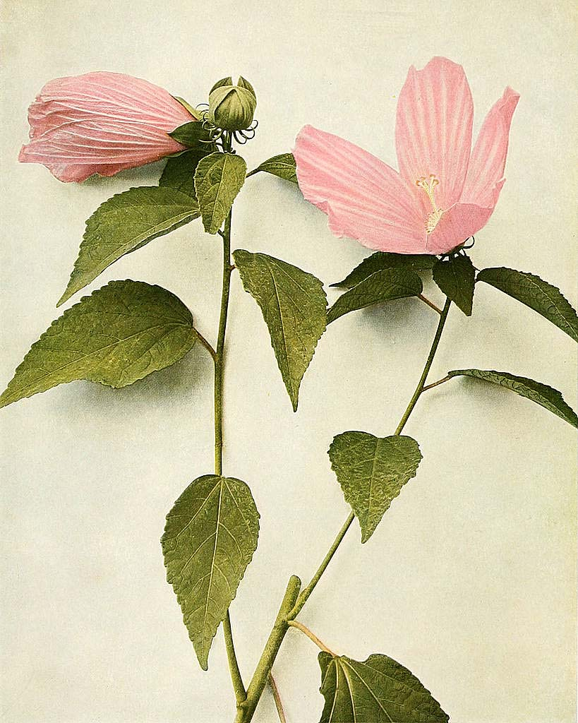 Hibiscus moscheutos (marshmallow) from Wildflowers of New York, 1918