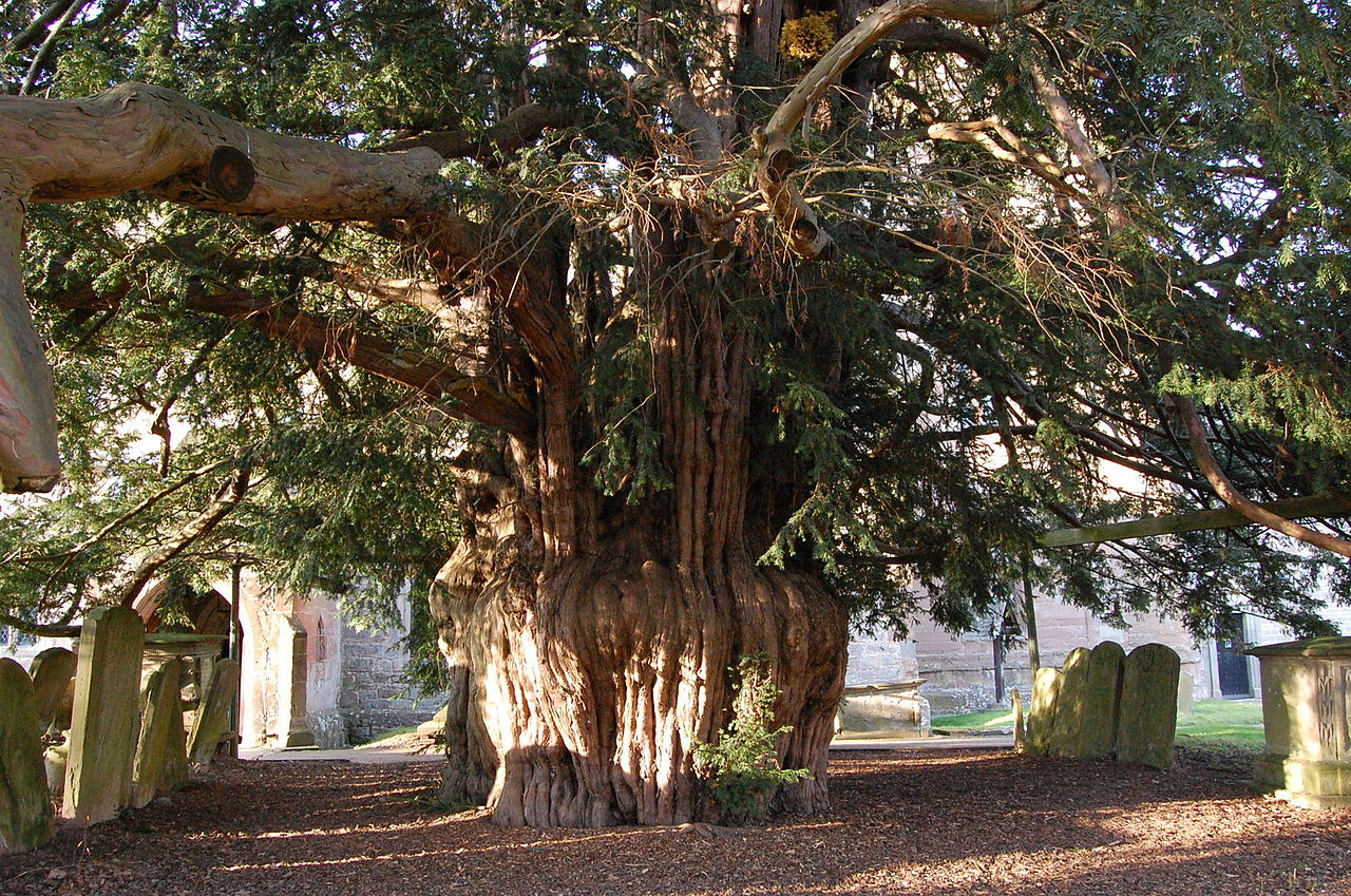 An ancient yew tree at Much Marple Church, UK, Photo: Julian P. Guffogg