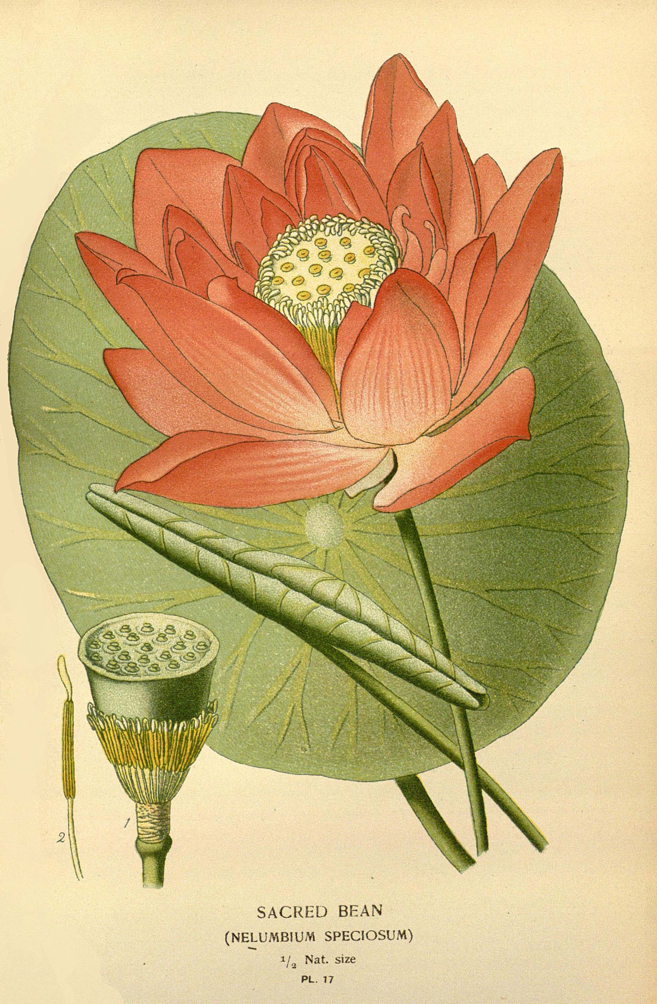 Nelumbium nucifera (formerly N. speciosum) (lotus) in an 1896 botanical illustration