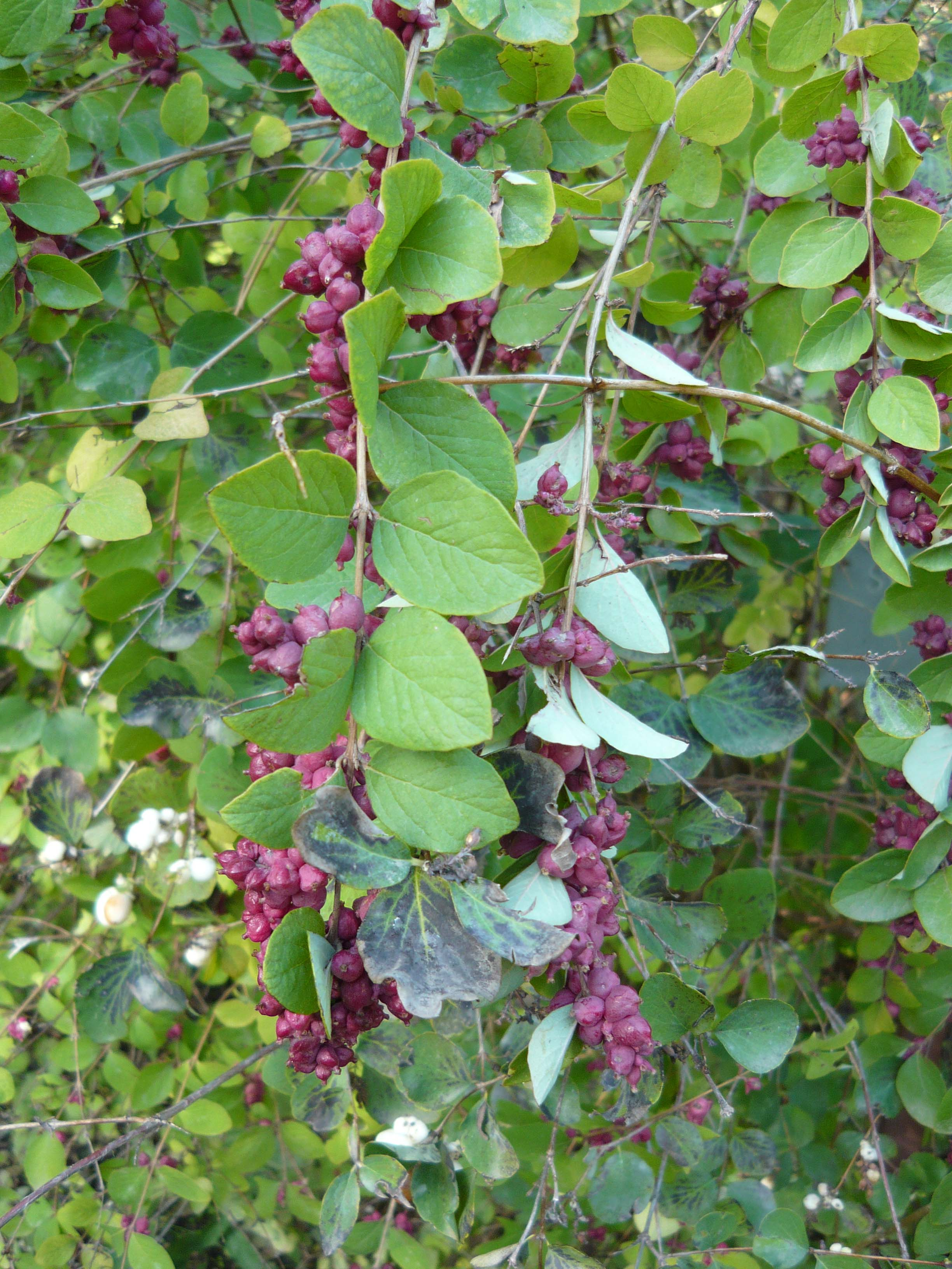 Symphoricarpos orbiculatus (coralberry, Indian current) with scale reference