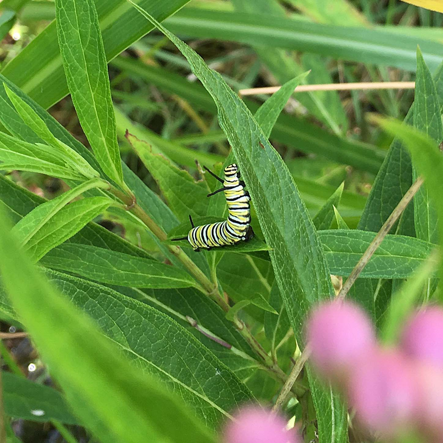 Monarch butterfly larvae on Asclepias incarnata (swamp milkweed); photo: D. Lucey