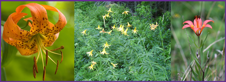 Native Lilies