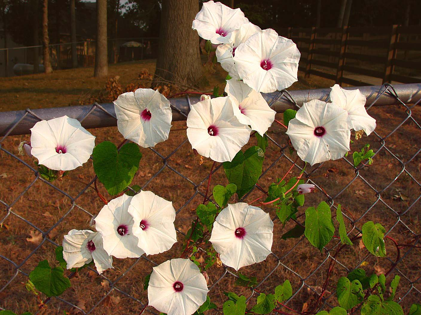 Ipomoea pandurata (man of the earth, wild potato vine)