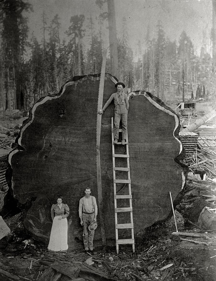 Loggers and the giant Mark Twain redwood (Sequoiadendron giganteum) cut down in California, 1892, Photo: N. E. Beckwith, National Geographic Foundation