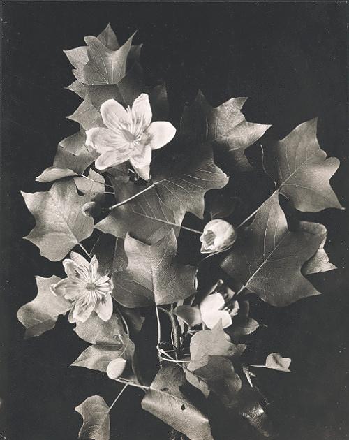 Tulip Poplar Blossoms, Henri (aka Henry) Troth photographer