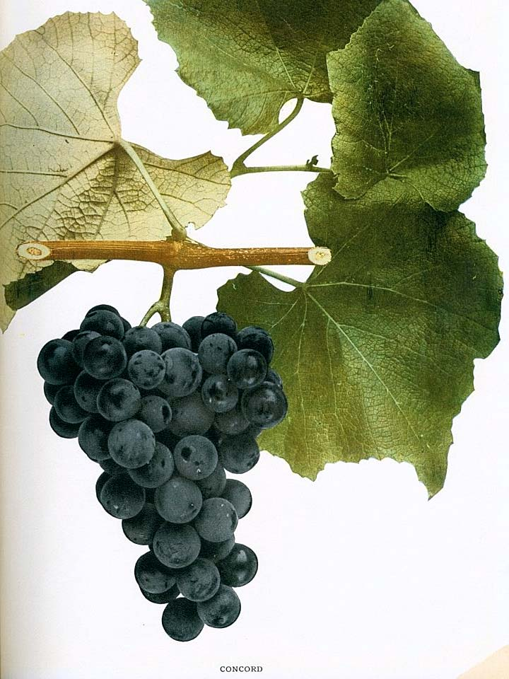 Concord variety of Vitis labrusca (fox grape)