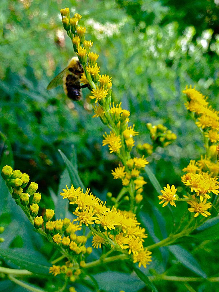 Solidago juncea (early goldenrod, plume golden-rod, yellow top)