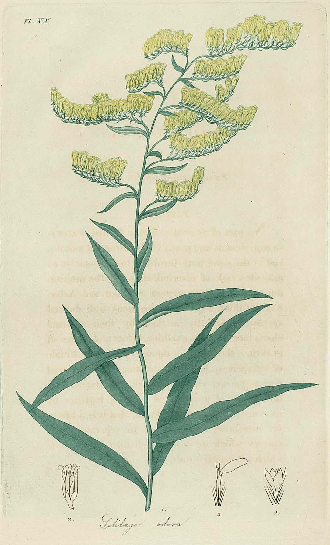 sweet goldenrod