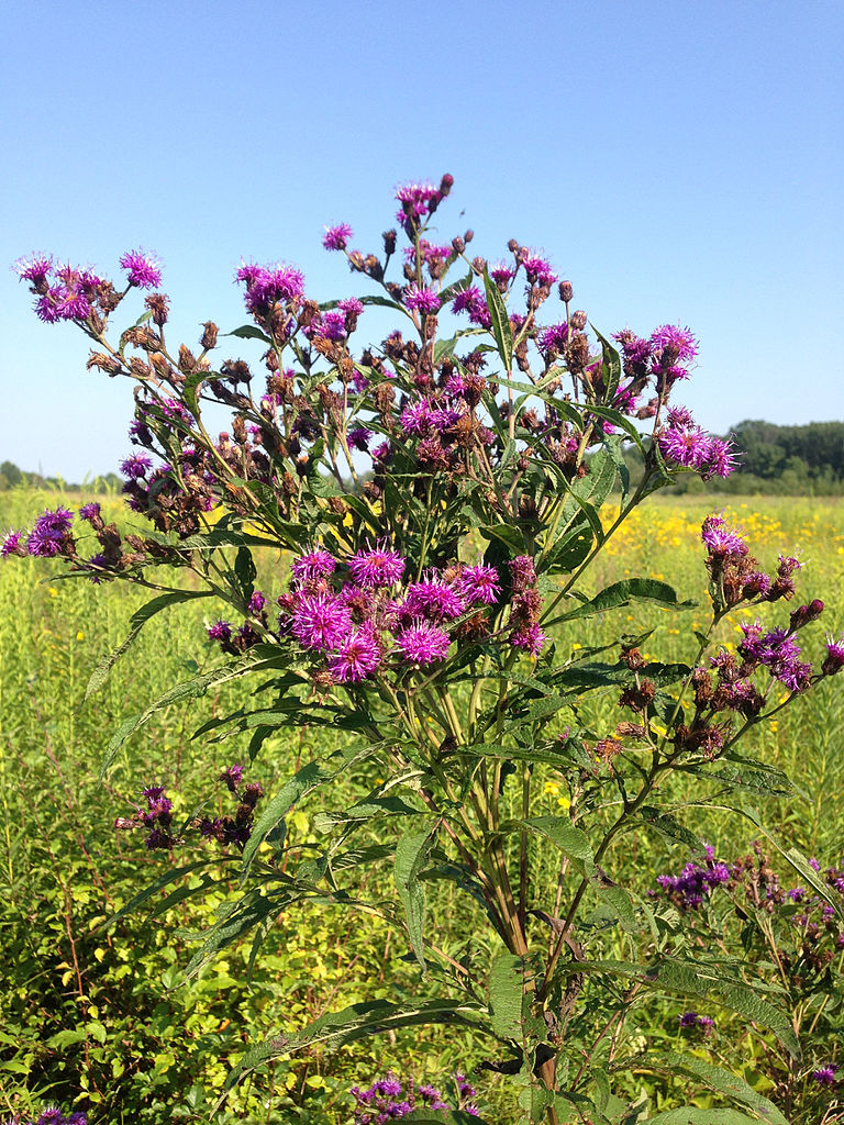Vernonia noveboracensis (ironweed)