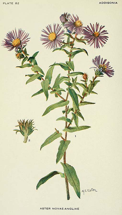 New England aster illustration