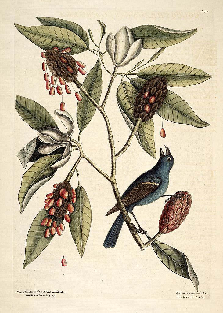 swamp magnolia