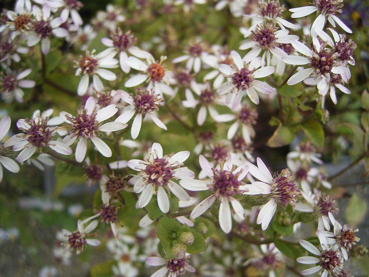 Eurybia divaricata (formerly Aster divaricata) (white wood aster)