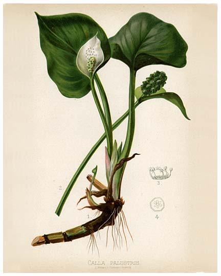 Calla palustria (bog arum, water arum)
