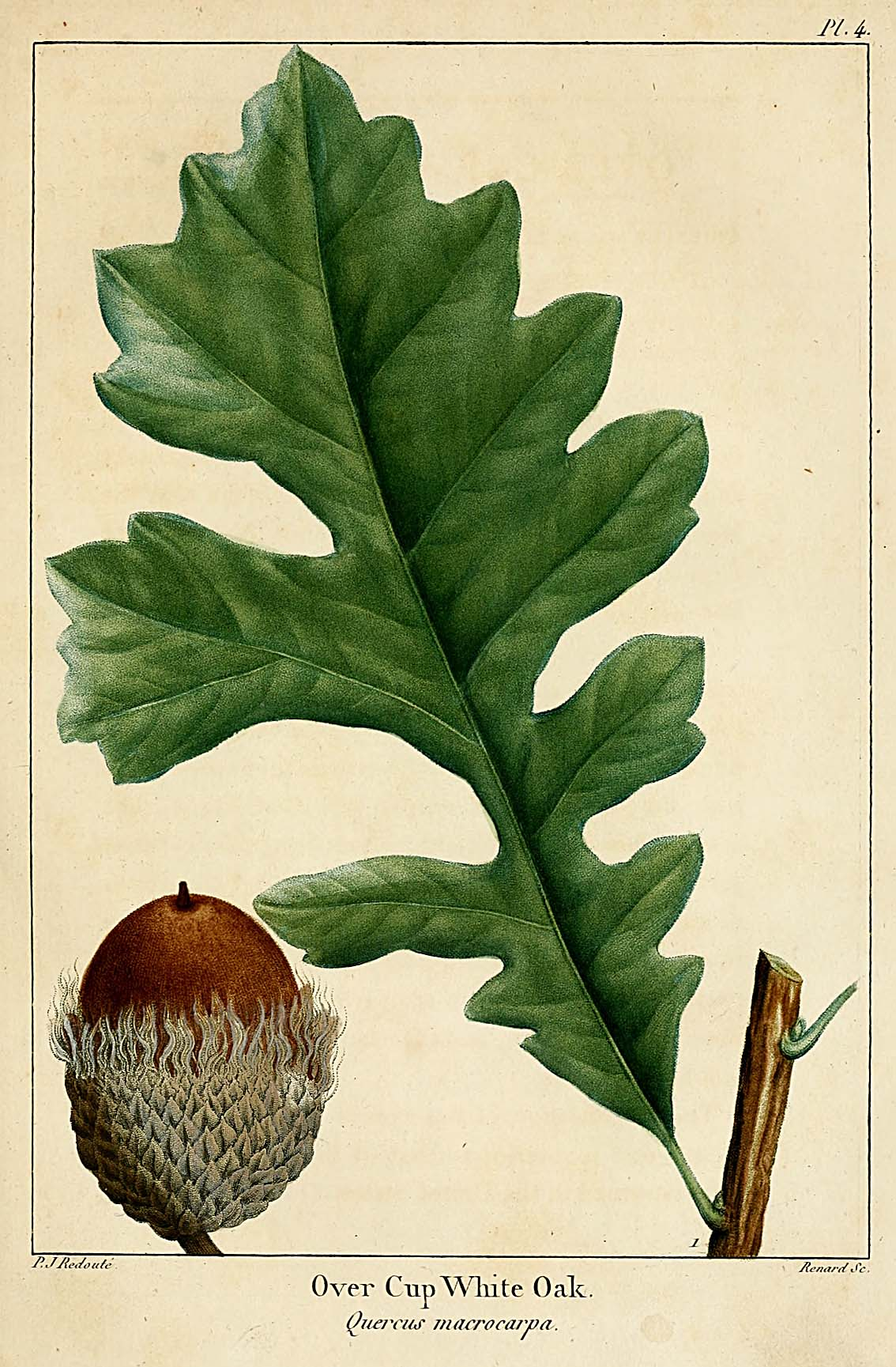 "Quercus macrocarpa from Andre Michaux, ""The Oaks of North America,"" 1801"