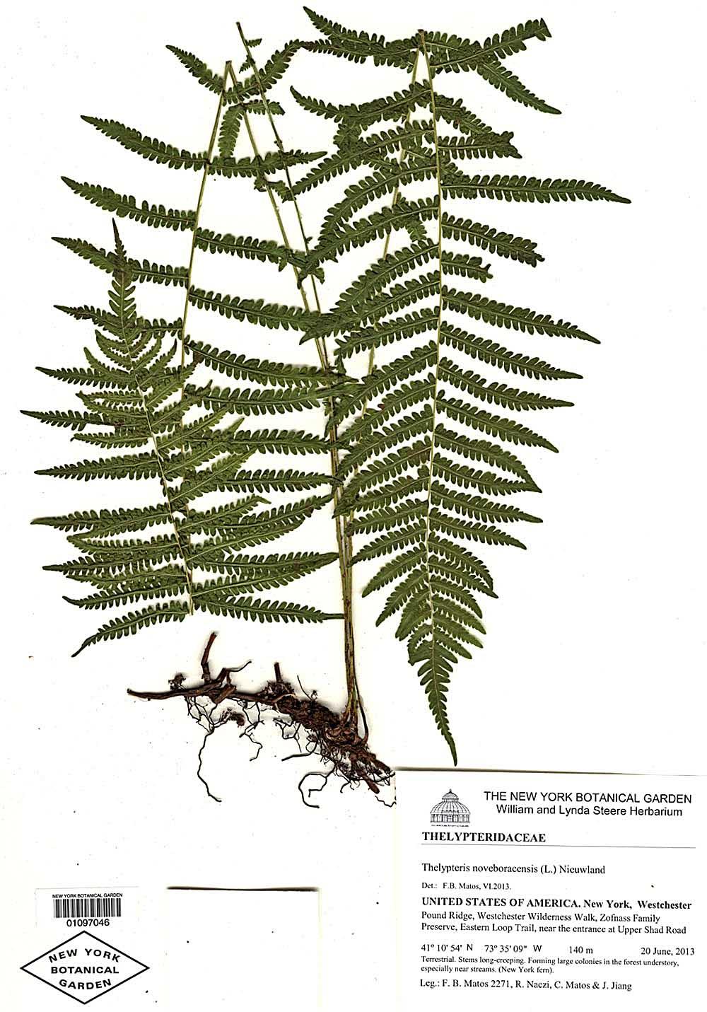 Thelypteris noveboracensis (syn. Asplenium noveboracensis) (New York fern), New York Botanical Garden Herbarium