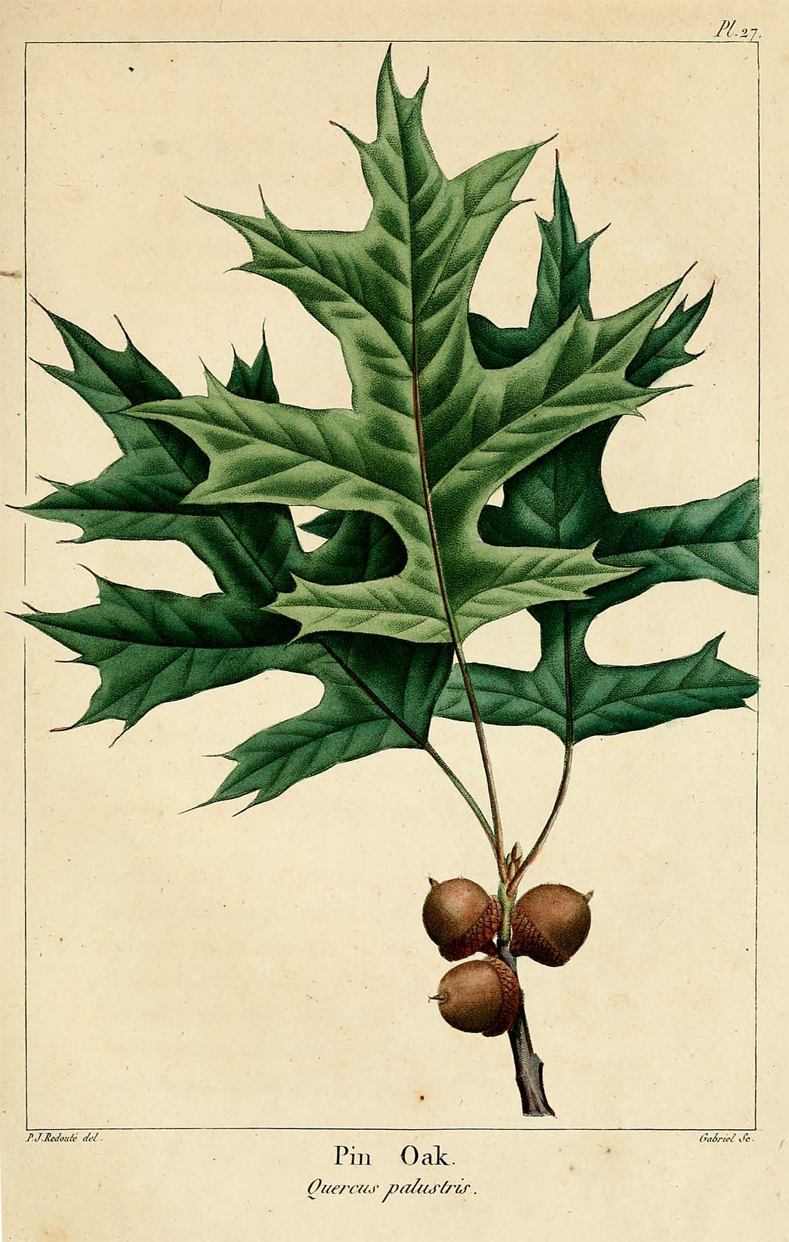 "Quercus palustris from Andre Michaux, ""The Oaks of North America,"" 1801"