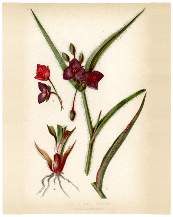 Tradescantia virginica (spiderwort)