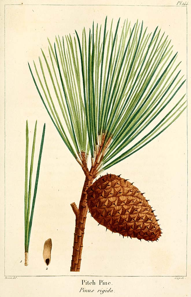 Pinus rigida, (pitch pine)