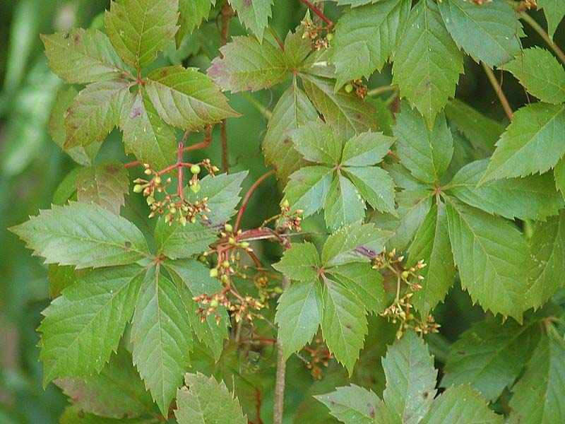 Parthenocissus quinquifolia (Virginia creeper)