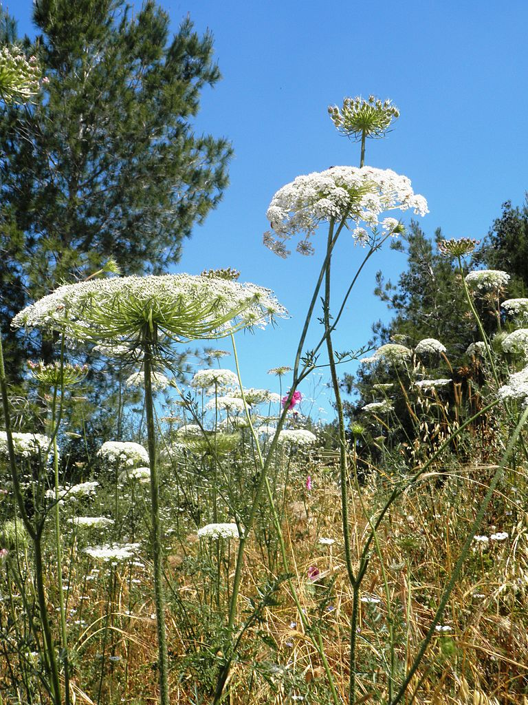 Daucus carota (wild carrot, Queen Anne's lace, bird's nest, bishop's lace)