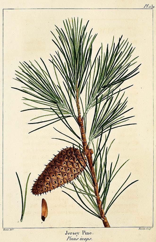 Jersey Pine
